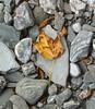 Port Glas Sycamore Leaf º