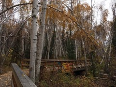Went for a walk today in The Boreal Forest #borealforest #bridge #fairbanks #creamersfield #alaska #autumn #fallcolors