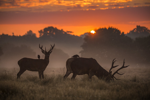 Deers with friends