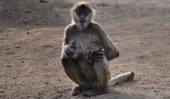 animal, monkey, mammal, fauna, old world monkey, ape, safari, wildlife,