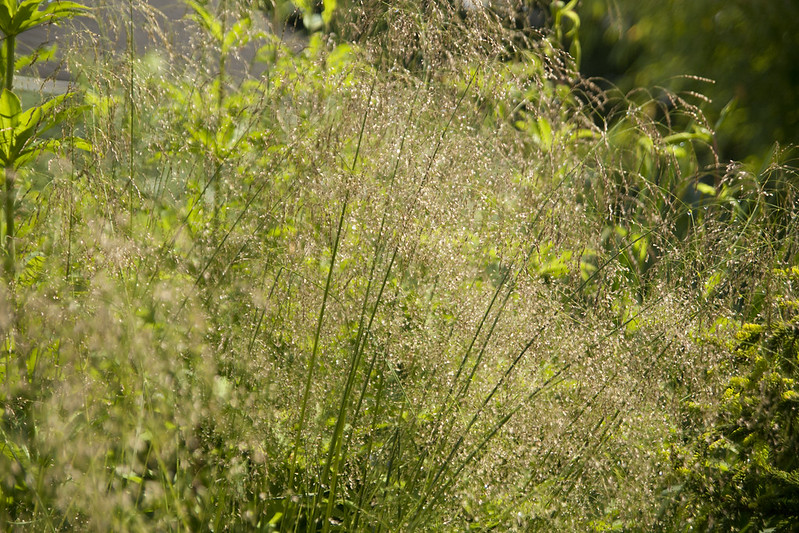 Deschampsia sunny