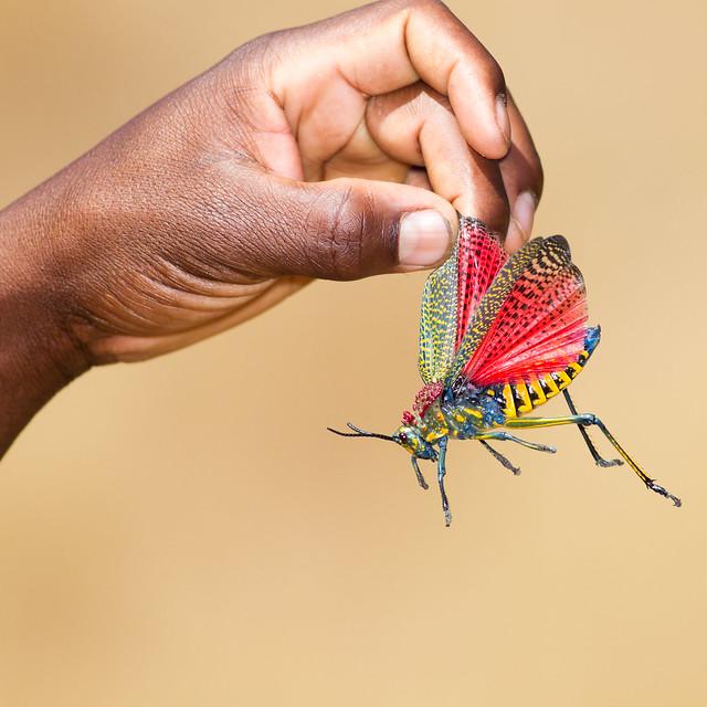 Phymateus Saxosus / Rainbow Milkweed Locust / Criquet des chiens