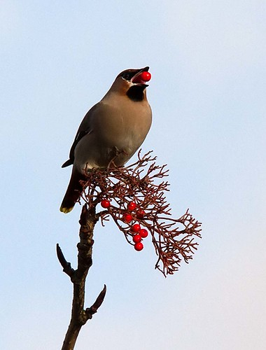 IMG_7460 Waxwing Adlington Nr Chorley Lancashire by Just Daves Photos