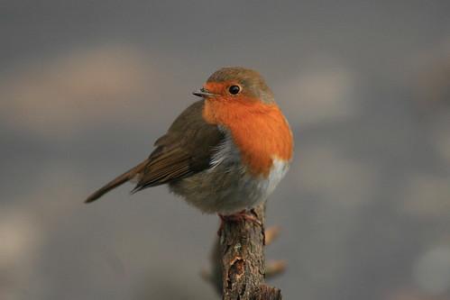 A Shy Robin by karlentwm