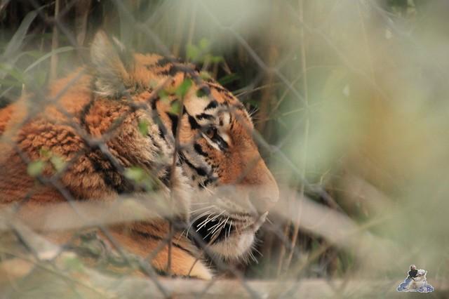 das Tiger Gehege wird umgebaut, in den hinteren Gehegen kann man aber ein Blick erhaschen