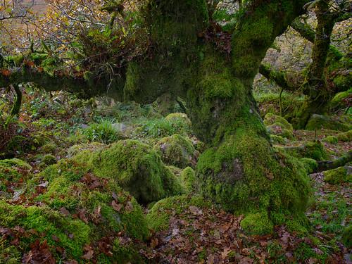 Wistmans Wood-Oak & Mosses