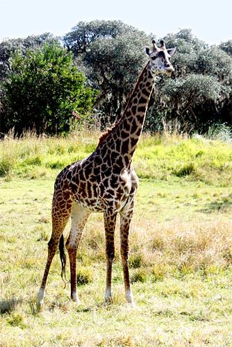 AK_SafariRide_Giraffe