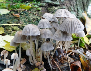 Pleated inkcap