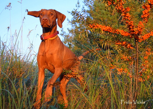 Frida Vizsla & Autumn