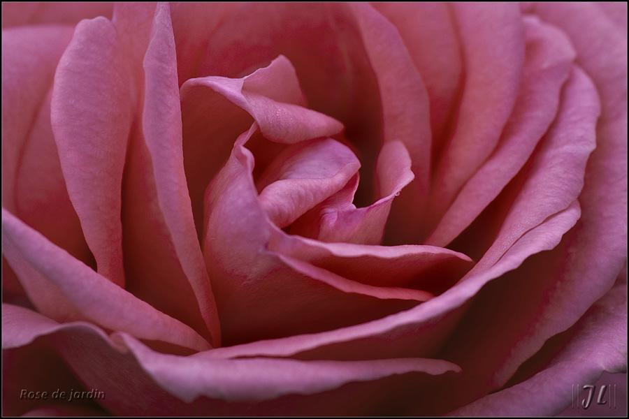 La dernière rose ... 8191140156_7b16046a43_o
