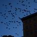 Pigeons II