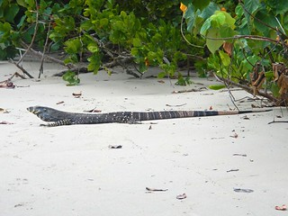 Goanna, Cape Tribulation
