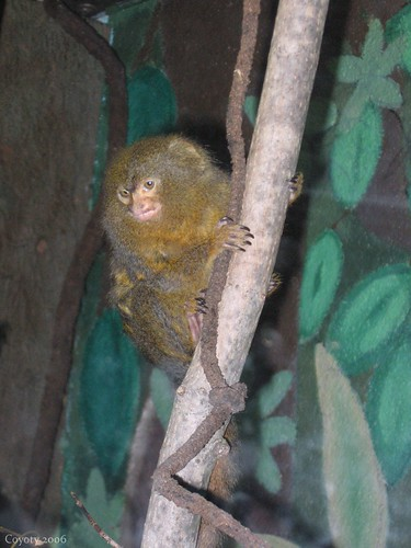 Sneering monkey by Coyoty