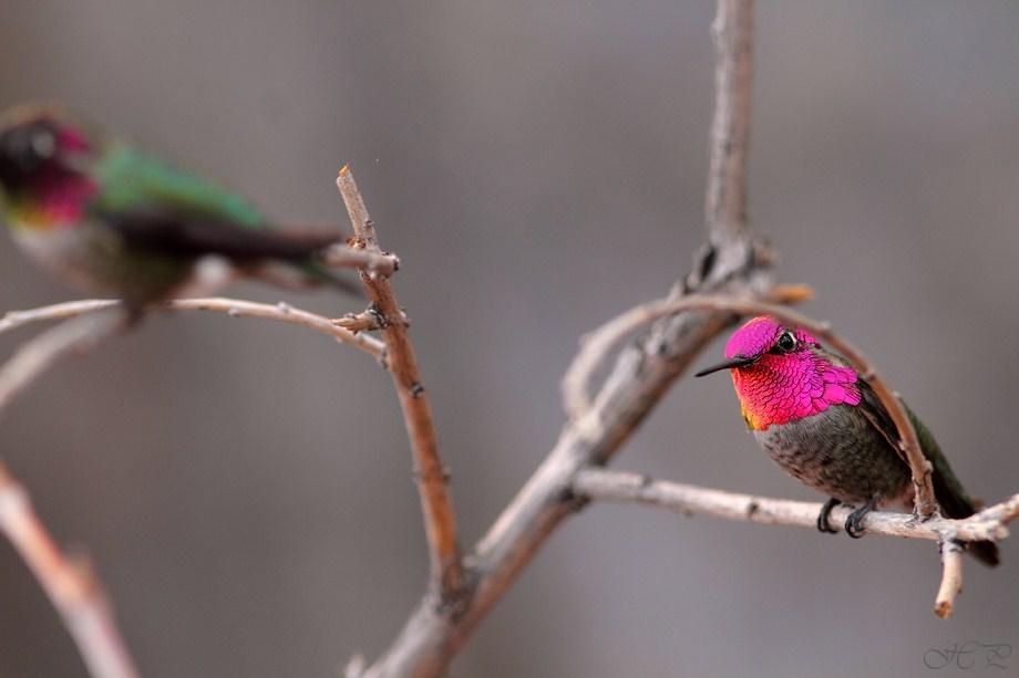 Anna's Hummingbird 112312