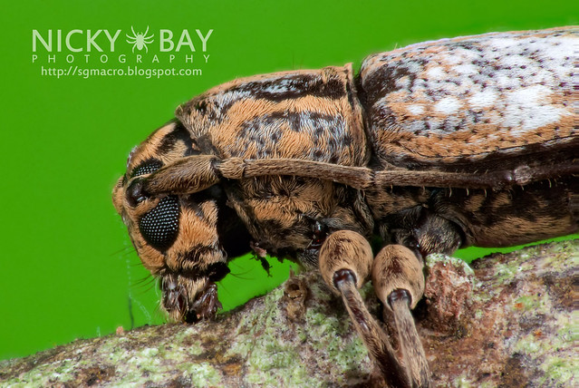 Longhorn Beetle (Cerambycidae) - DSC_4666
