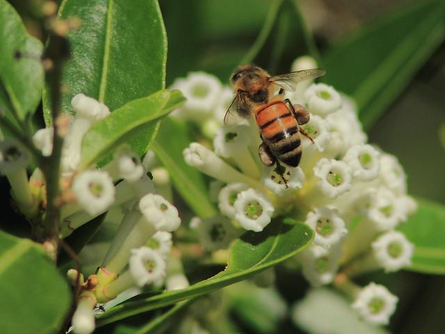 Honeybee 20121125