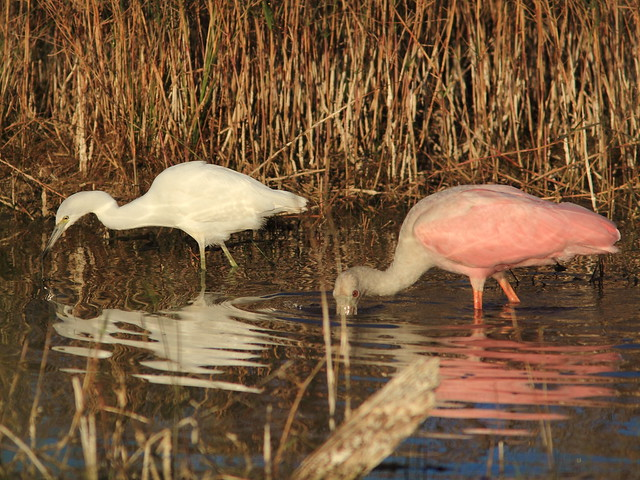 Little Blue Heron and spoonbill 20121125