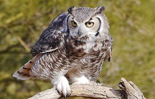 112812-044, Great Horned Owl
