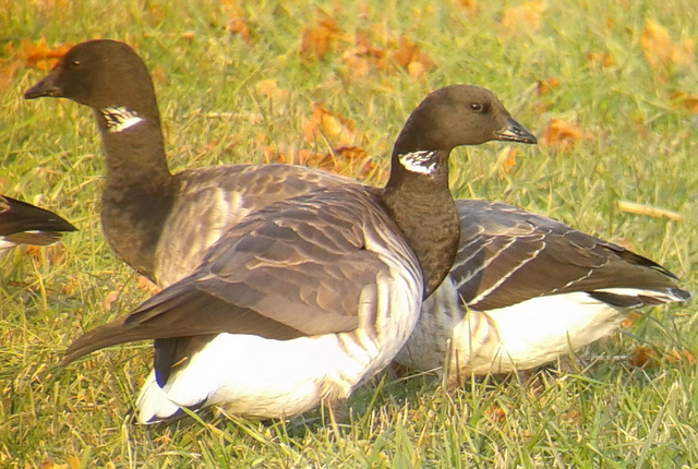 Atlantic Brant, New Castle County, 1 December 2012
