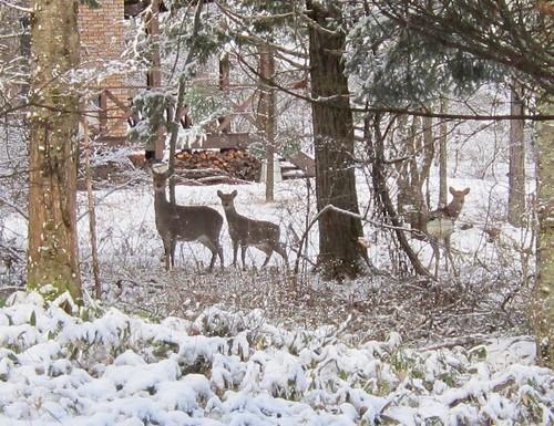 別荘地の中の鹿 2012年12月4日15:18 by Poran111