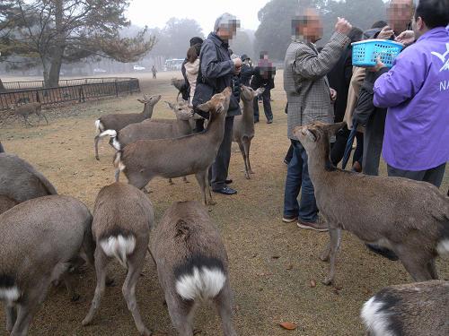 鹿寄せ@奈良公園(飛火野)-09