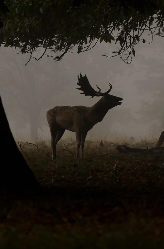 fallow deer buck in mist