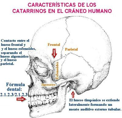 Características de los catarrinos en el cráneo humano