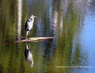 04 April - Great Blue Heron