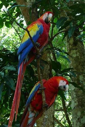 Scarlet Macaws - Copan - Ruinas Copan, Honduras