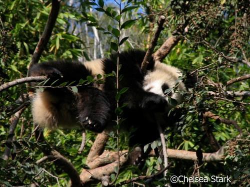 Panda  ©ChelseaStark http://www.chelseastarkphotography.com by chelseastarkphotography.com