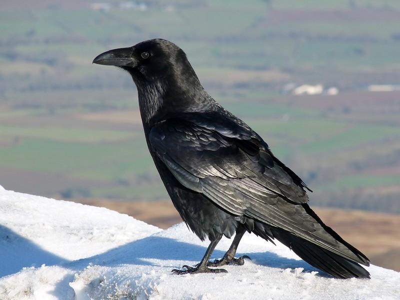 29088 - Raven, Pen y Fan
