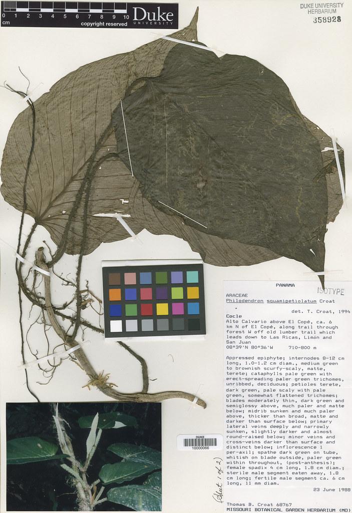 Araceae_Philodendron squamipetiolatum