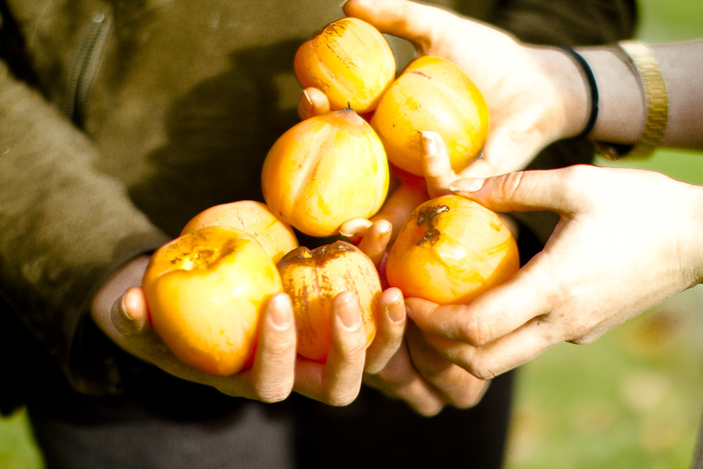 collecting persimmons