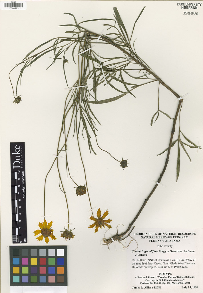 Asteraceae_Coreopsis grandiflora