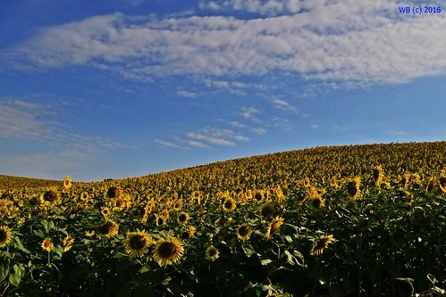 landscape landschaft sunflower sonnenblume napraforgó virág blume flower summer sky sommer blue tolna zomba kéty oudoor yellow pattern texture természet nature flora plant outdoor field minimal
