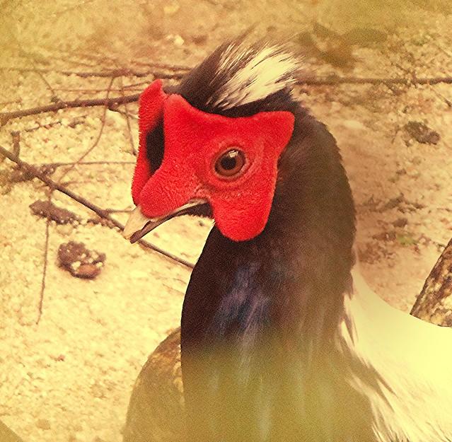 Scarlet-Headed Fowl, Fujifilm FinePix XP50