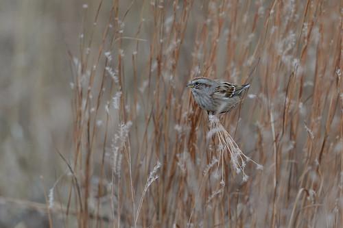 Tree Sparrow_45814.jpg