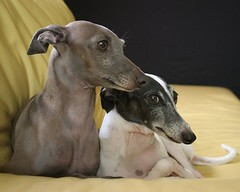 dog breed, animal, hound, dog, sloughi, pet, lurcher, italian greyhound, greyhound, carnivoran,
