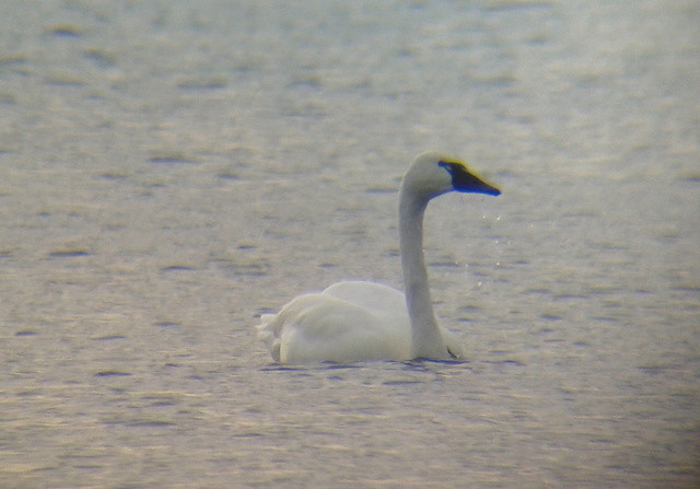 Tundra Swan, Presque Isle SP, Erie County, PA on 7 November 2012