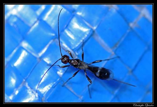Doryctinae (Hymenoptera/Braconidae)