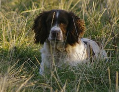 boykin spaniel(0.0), field spaniel(0.0), blue picardy spaniel(0.0), dog breed(1.0), animal(1.0), dog(1.0), welsh springer spaniel(1.0), large mã¼nsterlã¤nder(1.0), pet(1.0), small mã¼nsterlã¤nder(1.0), drentse patrijshond(1.0), brittany(1.0), irish setter(1.0), setter(1.0), russian spaniel(1.0), english cocker spaniel(1.0), picardy spaniel(1.0), spaniel(1.0), hunting dog(1.0), german spaniel(1.0), french spaniel(1.0), english springer spaniel(1.0), carnivoran(1.0),