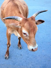 Mysore temple - cow