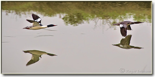 A Pair of Common Mergansers