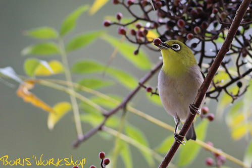 White-Eye II