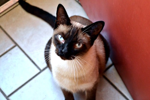 pretty siamese cat with piercing blue eyes