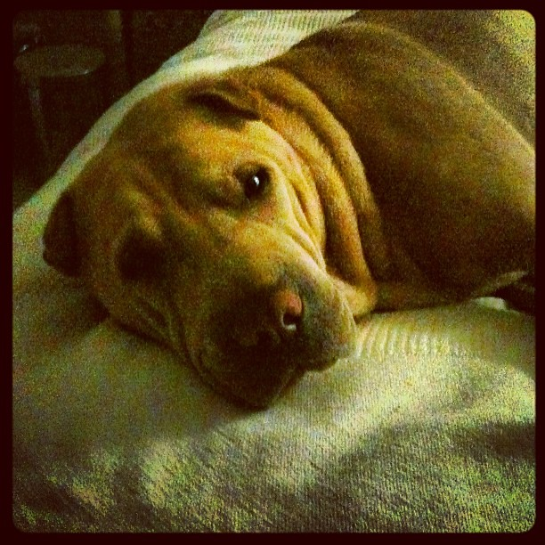 """Bitch, why you gotta wake me up all the time?"" Didn't do much today to justify a #365 photo so you get #winstonthesharpei"