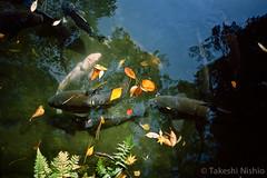 池の鯉 / Carp in a pond