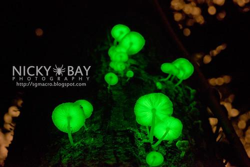 Bioluminescent Fungi (Mycena illuminans?) - DSC_8533