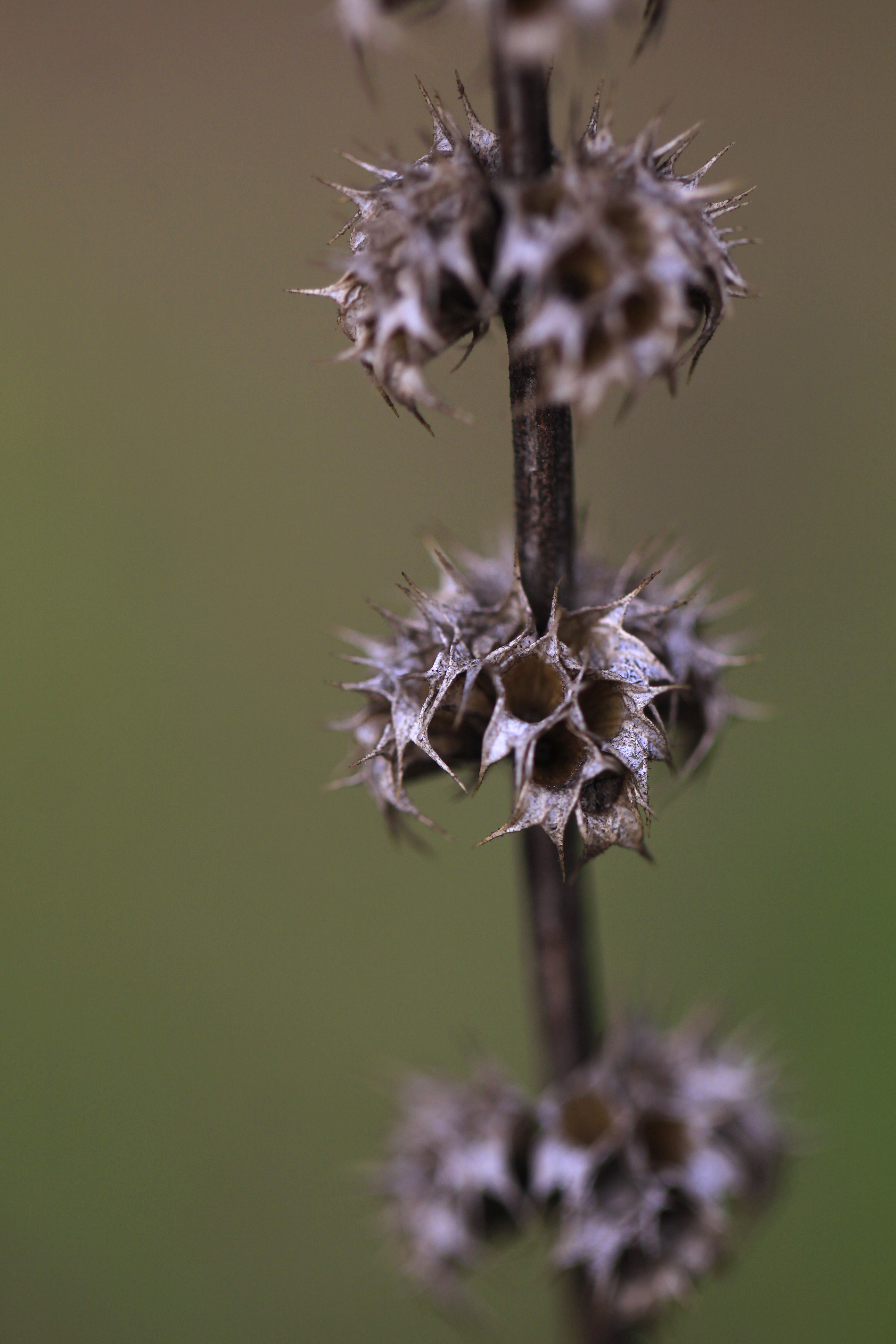 spikey seed pods2
