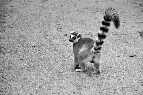 Ring-tailed lemur (Catta)